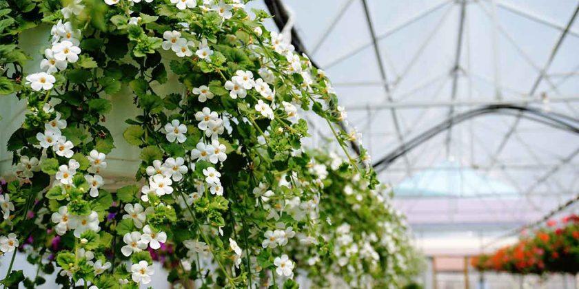 Plant Profiles: Bacopa